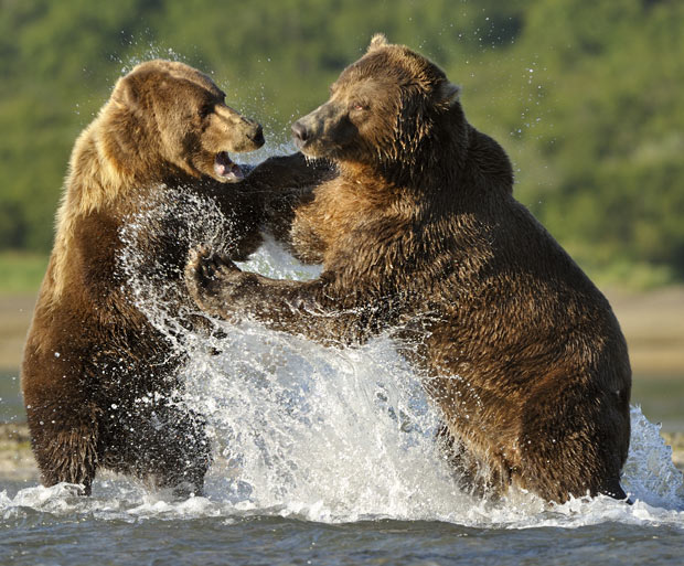 grizzly-bears-fighting-wallpaper-1.jpg